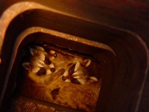 Allamericanchimney Raccoons In Flue
